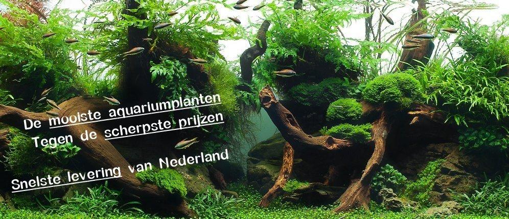 Aquariumplanten kopen doet u online bij   aquarium123   Webwinkel voor online aquariumplanten kopen